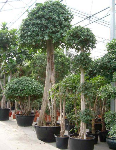 Ficus Panda Stamm Krone Erdpflanze Akzente Raumbegruenung