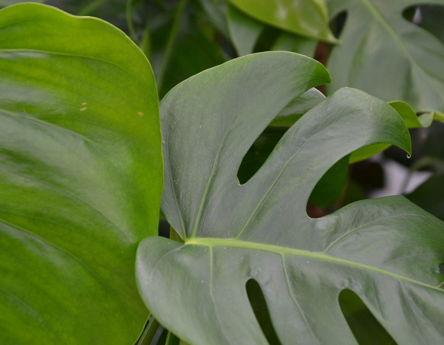 Monstera - Büropflanze für gutes Raumklima, akzente raumbegrünung