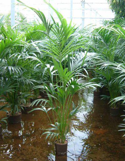 Kentia Palme Hydrokultur Akzente Raumbegruenung
