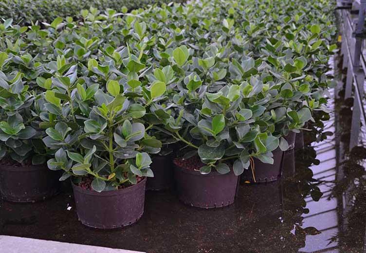Pflanzen im Büro, Arbeitsplatz, Clusia Hydrokultur, akzente raumbegrünung