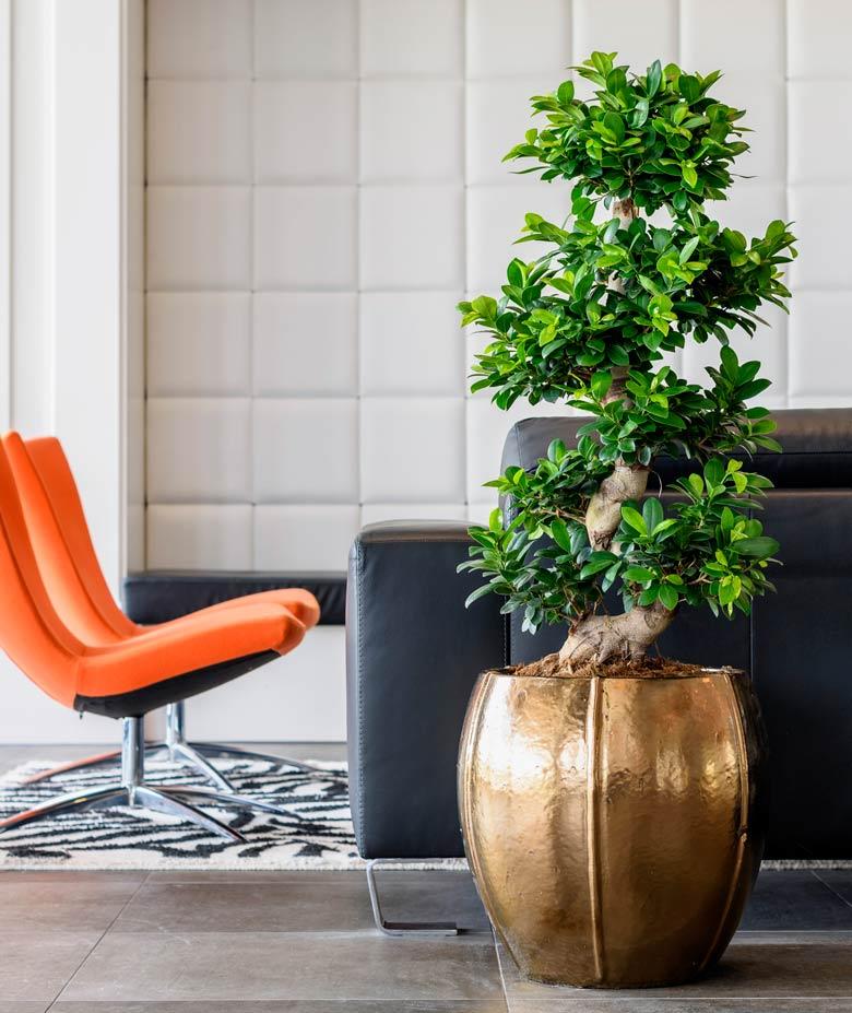 Ficus Bonsai in einem hochwertigen Pflazgefäß
