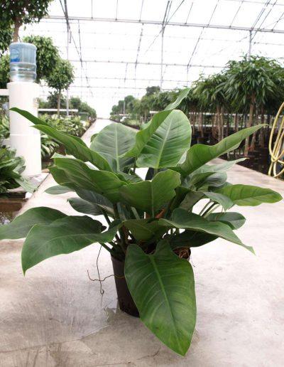 Philodendron Baumfreund Bueropflanze Akzente Raumbegruenung