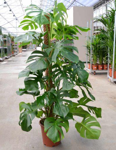 Philodendron Monstera Bueropflanze Akzente Raumbegruenung