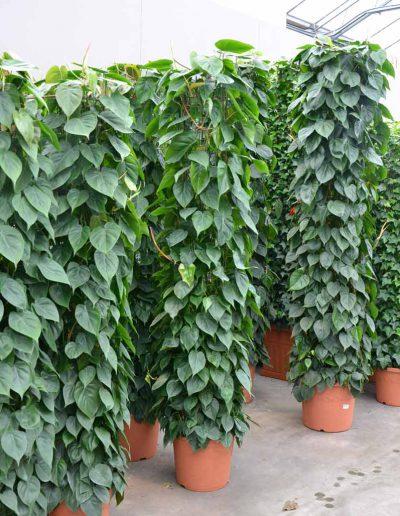 Philodendron Scandens Erdpflanze Akzente Raumbegruenung