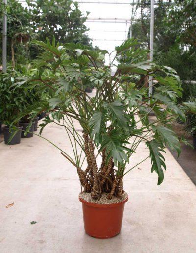 Philodendron Xanadu Bueropflanze Akzente Raumbegruenung