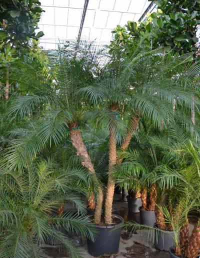 Phoenix Palme Erdpflanze Akzente Raumbegruenung
