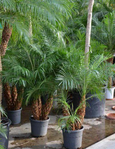 Phoenix Roebelini Palme Bueropflanze Akzente Raumbegruenung