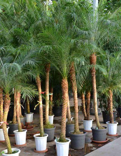 Phoenix Roebelini Palme Erdpflanze Akzente Raumbegruenung