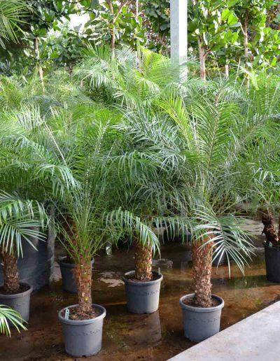 Phoenix Roebelini Stamm Palme Bueropflanze Akzente Raumbegruenung