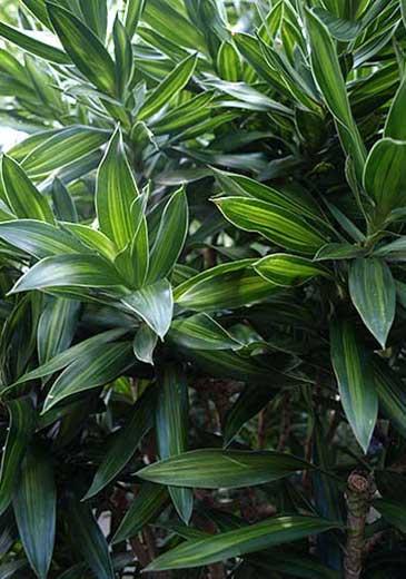 Pleomele Büropflanze, Arbeitsplatz, Hydrokultur, akzente raumbegrünung