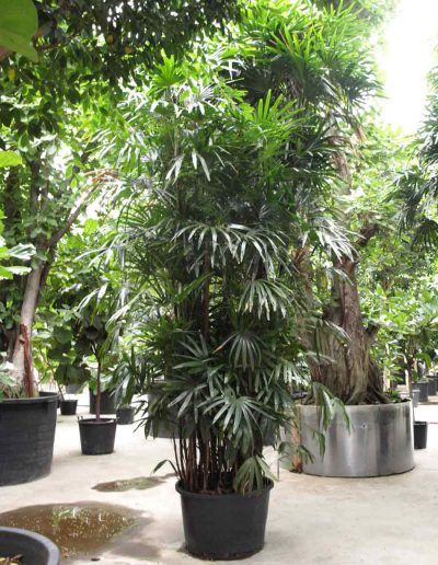 Rhapis Palme Erdpflanze Akzente Raumbegruenung