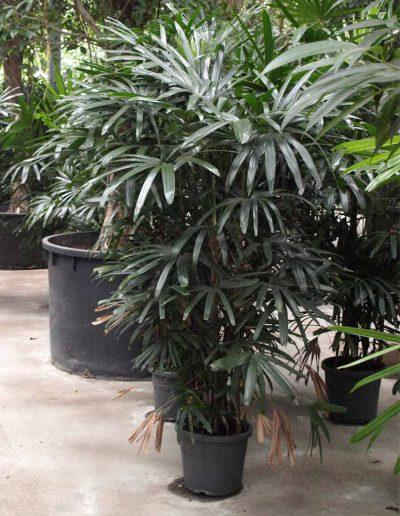 Rhapis Excelsa Palme Erdpflanze Akzente Raumbegruenung