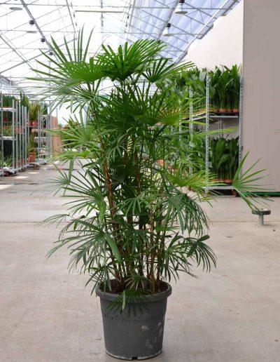 Rhapis Humilis Palme Bueropflanze Akzente Raumbegruenung