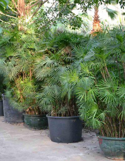 Rhapis Humilis Palme Erdpflanze Akzente Raumbegruenung