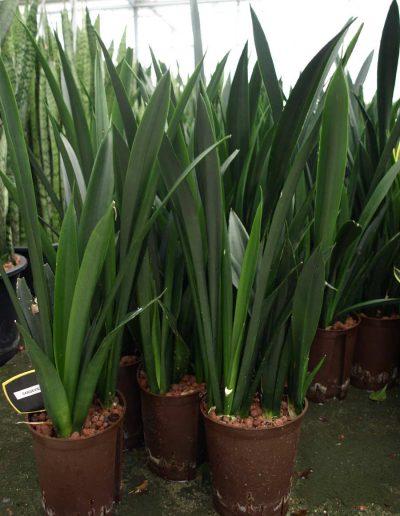 Sansevieria Onyx Bueropflanze Hydrokultur Akzente Raumbegruenung