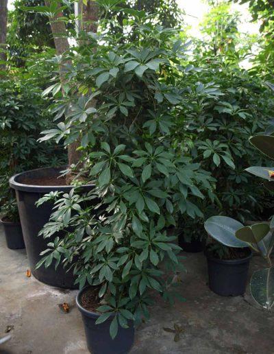 Schefflera Bueropflanze Hydrokulturpflanze Akzente Raumbegruenung