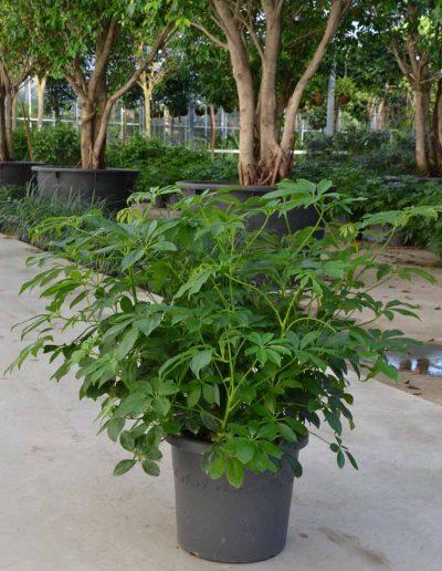 Schefflera Arboricola Bueropflanze Akzente Raumbegruenung