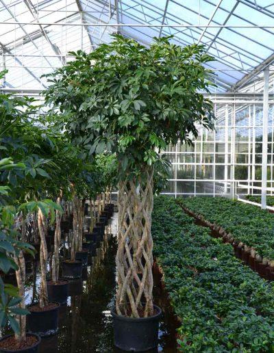 Schefflera Arboricola Stamm Bueropflanze Akzente Raumbegruenung
