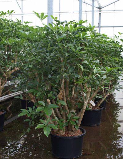Schefflera Arboricola Verzweigt Hydropflanze Akzente Raumbegruenung