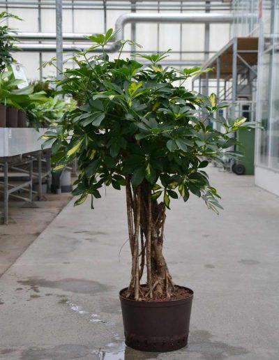 Schefflera Gold Capella Hydrokultur Bueropflanze Akzente Raumbegruenung