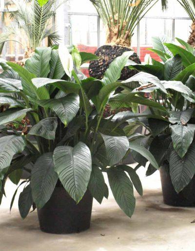 Spathiphyllum Sensation Erdpflanze Buerobegruenung Akzente Raumbegruenung
