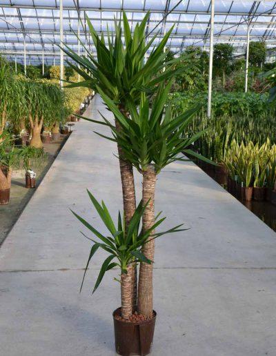 Yucca Hydrokultur Bueropflanze Akzente Raumbegruenung