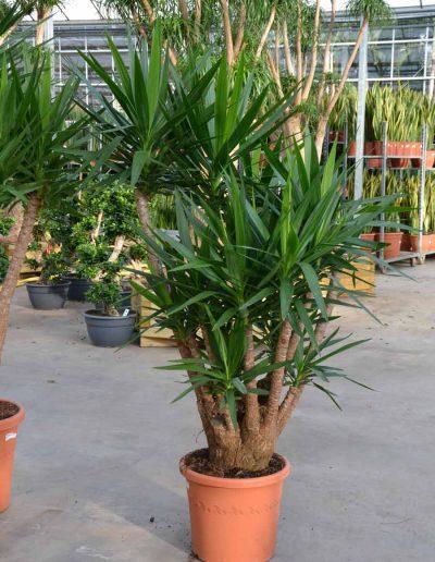 Yucca Verzweigt Erdpflanze Buerobegruenung Akzente Raumbegruenung