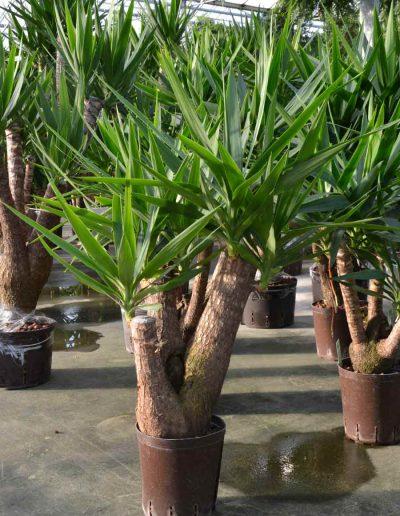 Yucca Verzweigt Hydrokultur Bueropflanze Akzente Raumbegruenung