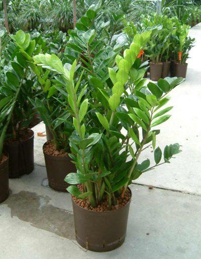 Zamioculcas Hydrokultur Bueropflanze Akzente Raumbegruenung