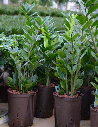 Zamioculcas Hydrokulturpflanze Akzente Raumbegruenung