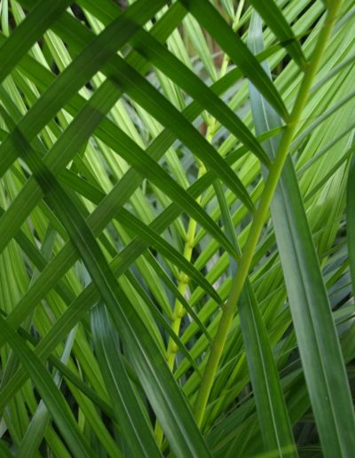 Areca Lutescens akzente raumbegruenung Bueropalme Hydrokultur