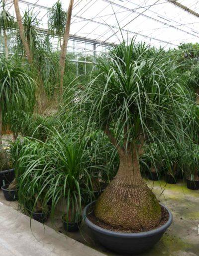 Beaucarnea Verzweigt Erdpflanze Bueropflanze akzente raumbegruenung