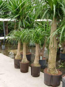 Der Elefantenfuß ist eine beliebte Büropflanze.