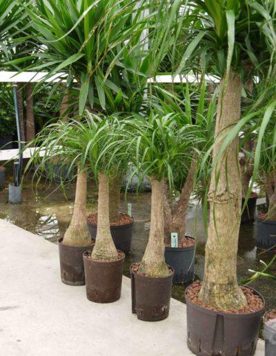 Beaucarnea Verzweigt Hydrokultur Bueropflanze akzente raumbegruenung
