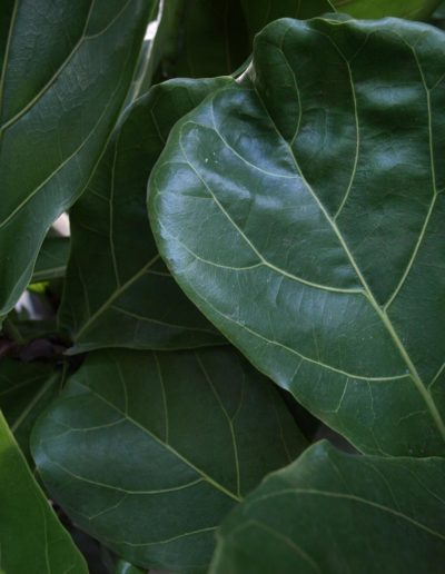 Ficus lyrata akzente raumbegruenung Buerobegruenung Hydrokultur