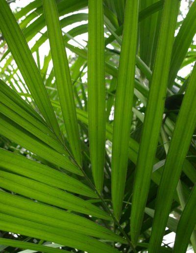 Kentia Forsteriana akzente raumbegruenung Pflanzenleasing Bueropflanzen