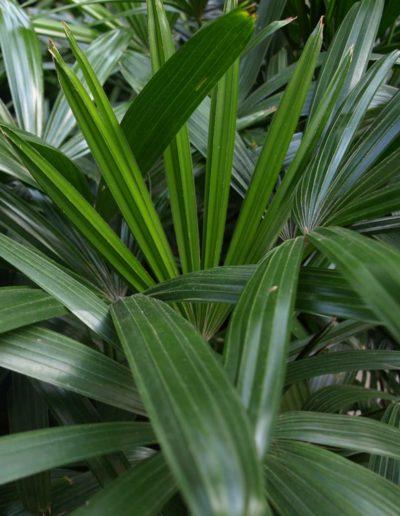 Rhapis Excelsa akzente raumbegruenung Hydrokultur Palme