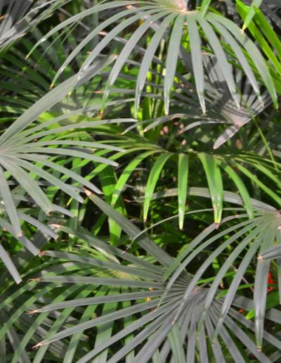 Rhapis Humilis akzente raumbegruenung Pflanzenleasing Bueropflanzen