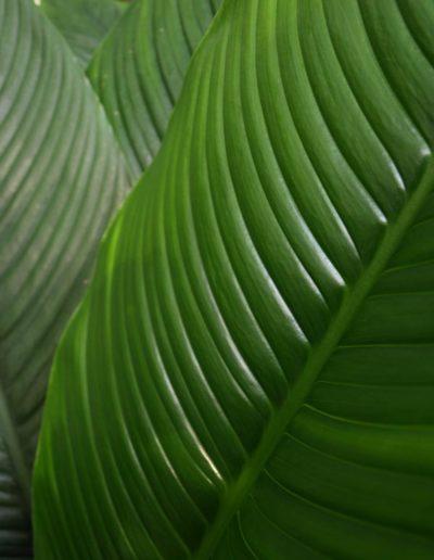 Spathiphyllum als Büropflanze