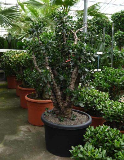 Crassula Ovata Erdpflanze Bueropflanze Akzente Raumbegruenung
