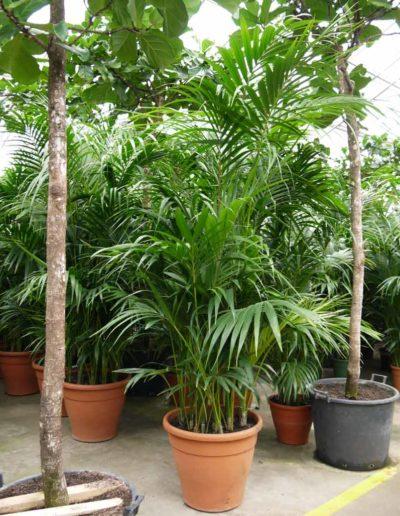 Kentia Forsteriana Erdpflanze Palme Akzente Raumbegruenung