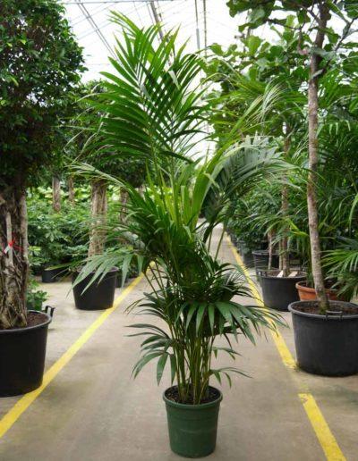 Kentia Forsteriana Palme Erdpflanze Akzente Raumbegruenung