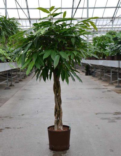 Hydrokultursystem Buerobegruenung Ficus Hydropflanze Akzente Raumbegruenung
