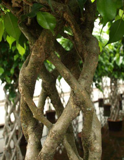 Open Window Ficus Hydrokultur Bueropflanze Akzente Raumbegruenung