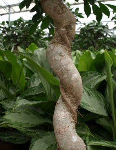 Spirale Ficus Stamm Zimmerpflanze Hydrokultur Akzente Raumbegruenung