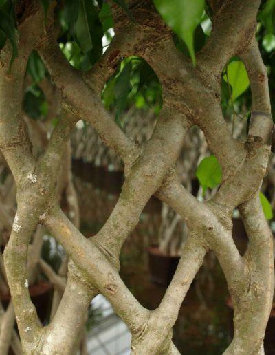 Stamm Hecke Zimmerpflanze Ficus Bueropflanze Akzente Raumbegruenung