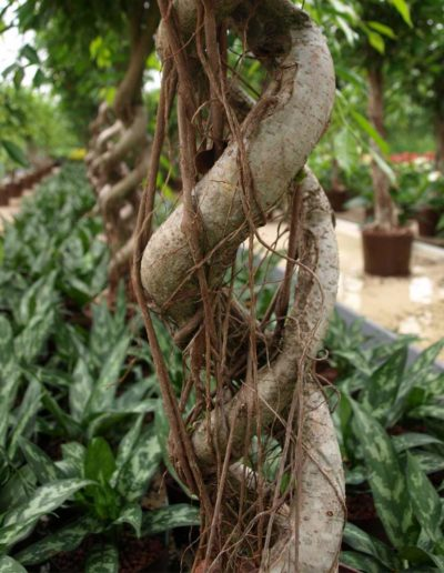 Stamm Wuchsform Open Window Ficus Bueropflanze Akzente Raumbegruenung