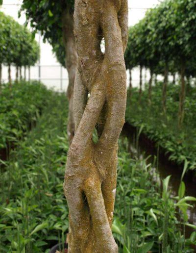 Stamm Geflochten Zimmerpflanze Ficus Akzente Raumbegruenung