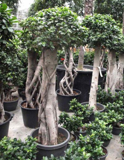 Stamm Verzweigt Bonsai Ficus Akzente Raumbegruenung