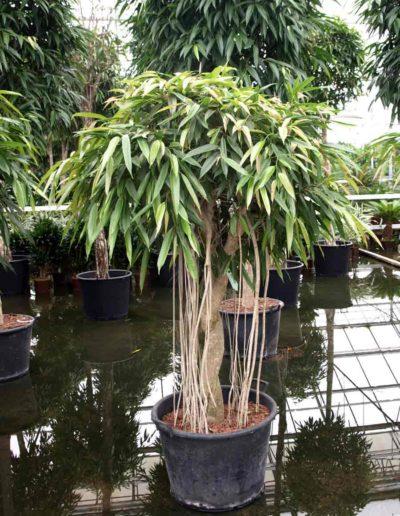 Wuchsform Bueropflanzen Leasen Akzente Raumbegruenung